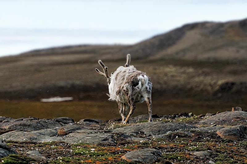 Un renne marche à travers un paysage de Spitzberg
