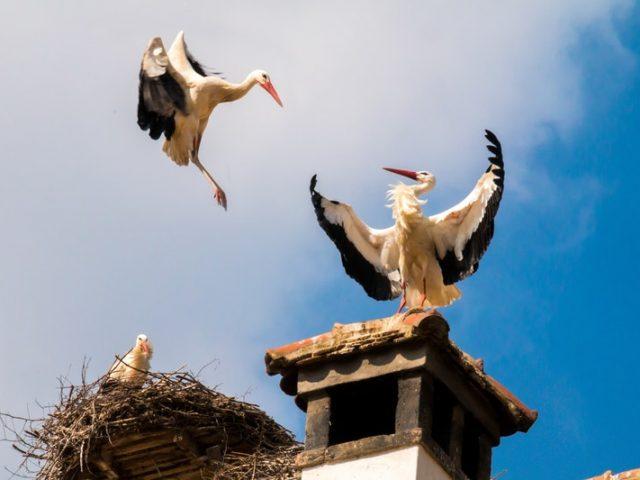 cigognes dans un nid sur un toit